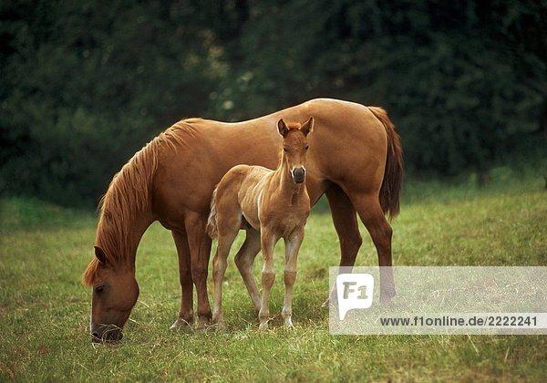 Quarter Horse - Stute mit Fohlen stehend auf Wiese