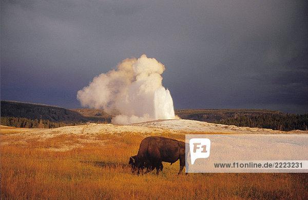 Bison - stehend vor Geysir