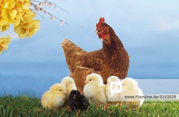 Huhn mit Küken auf Wiese Huhn mit Küken auf Wiese