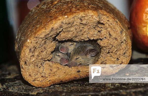 drei junge Mäuse - schlafend in Brotlaib