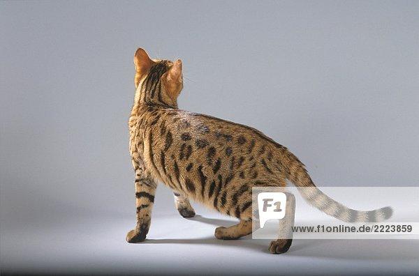 Bengalkatze - stehend - Freisteller
