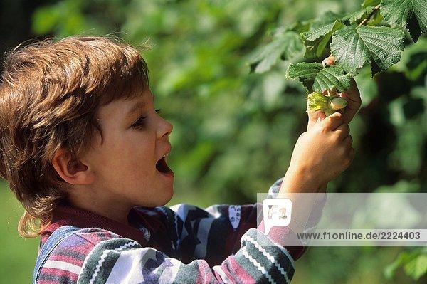 Junge pflückt Haselnuß