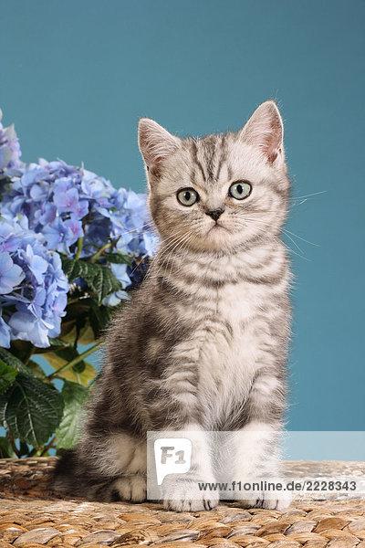 Exotic Shorthair Kätzchen - sitzend vor Blumen Exotic Shorthair Kätzchen - sitzend vor Blumen