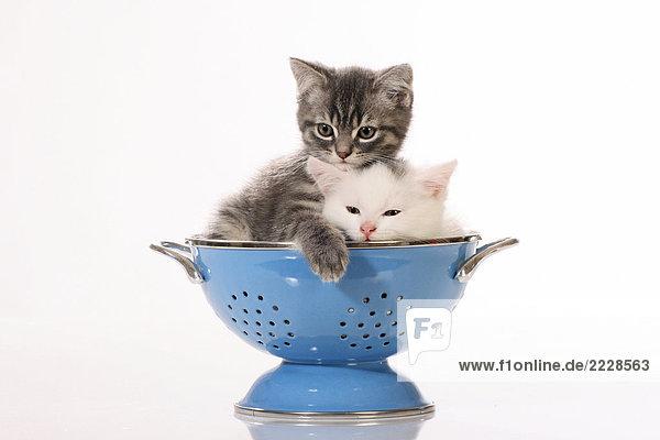 zwei Kätzchen in Sieb zwei Kätzchen in Sieb