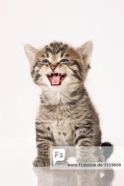 Kätzchen - miauend - Freisteller