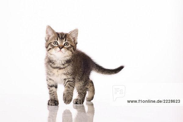 Kätzchen - gehend - Freisteller Kätzchen - gehend - Freisteller