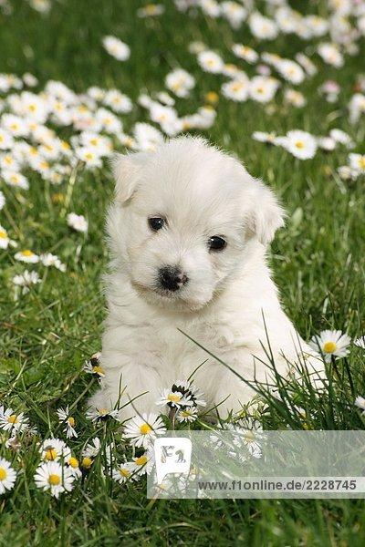 West Highland White Terrier Welpe - sitzend auf Wiese West Highland White Terrier Welpe - sitzend auf Wiese
