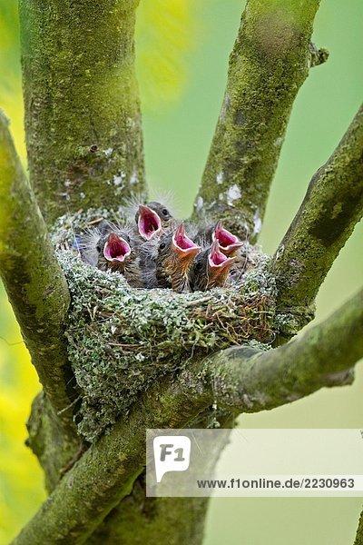 Buchfink - Küken schreiend im Nest Buchfink - Küken schreiend im Nest