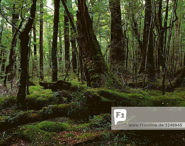 Forest  Fiordland National Park. South Island  New Zealand