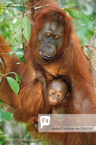 Borneo-Orang-Utan (Pongo Pygmaeus). Borneo Borneo-Orang-Utan (Pongo Pygmaeus). Borneo