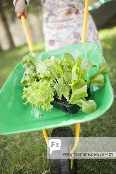 Kind fährt Schubkarre mit Salatpflanzen und Basilikum