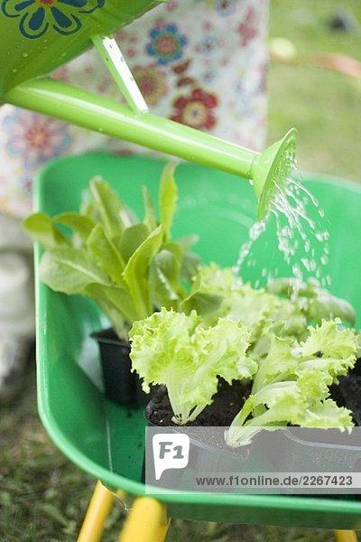 Salatpflanzen in Schubkarre giessen