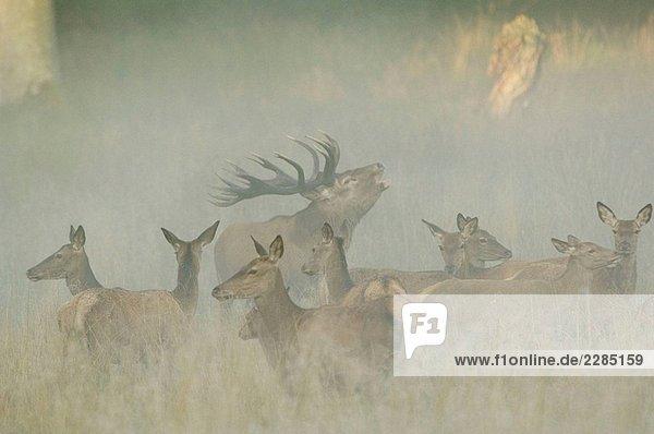 Rothirsch (Cervus Elaphus) mit Herde im Nebel Rothirsch (Cervus Elaphus) mit Herde im Nebel