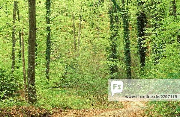 Weise durch Buche Wald im Frühjahr  Nationalpark Hainich-Kreis  Thüringen  Deutschland Weise durch Buche Wald im Frühjahr, Nationalpark Hainich-Kreis, Thüringen, Deutschland