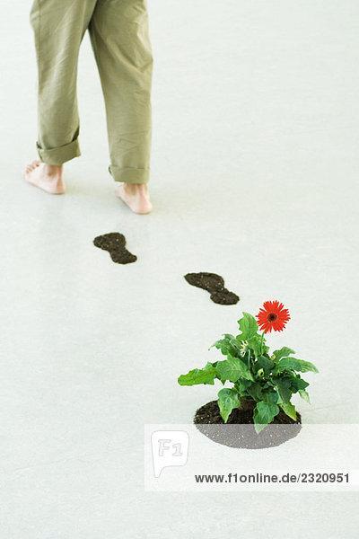 Person  die von Gerbera-Gänseblümchen weggeht und Bodenspuren hinterlässt  Ausschnittansicht