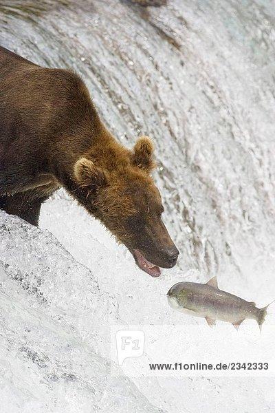 Adult Grizzlybär verpasst einen Lachs am Brooks Falls  Alaska  USA