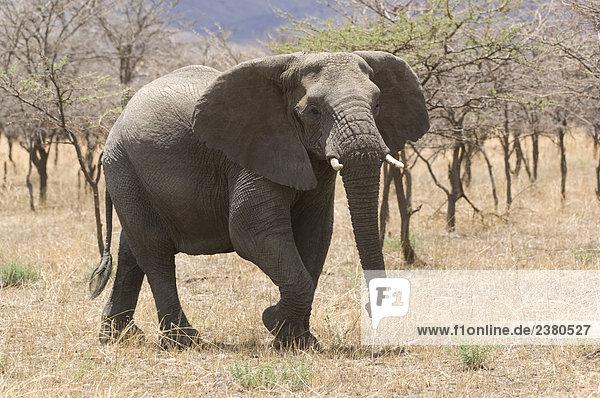 Tier Safari