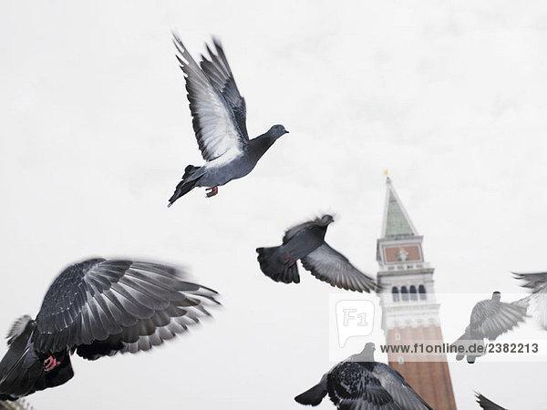Tauben fliegen