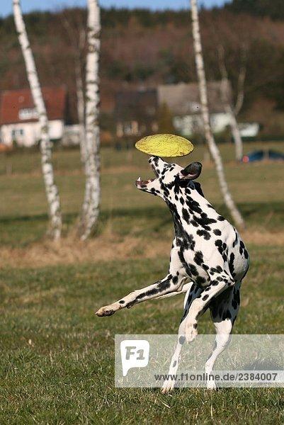 Dalmatinischen Fang Frisbee in Feld