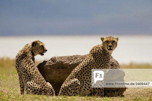 Zwei Geparden  die neben einem Felsen sitzen.