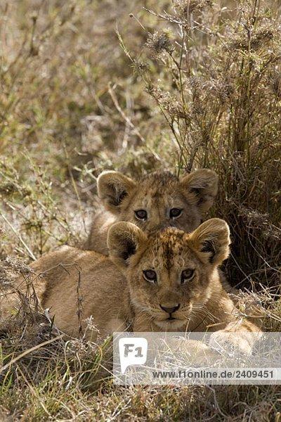 Zwei Löwenbabys liegend