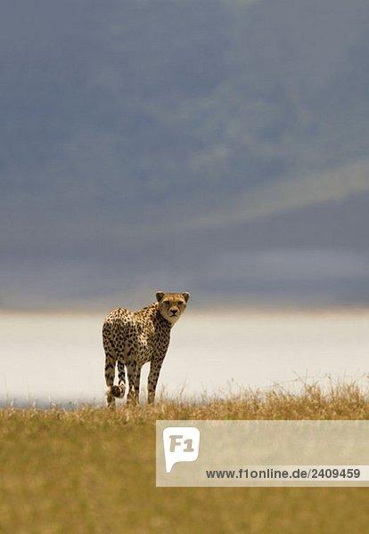 Ein Gepard,  der auf einer Savanne steht.