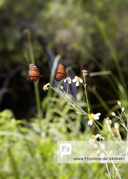 Zwei Schmetterlinge  die auf einer Blume sitzen.