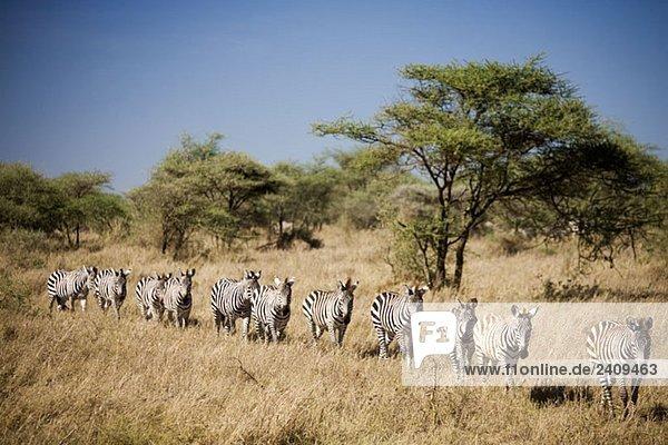 Wandernde Zebras  Tansania
