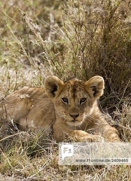 Ein Löwenjunges im Gras liegend