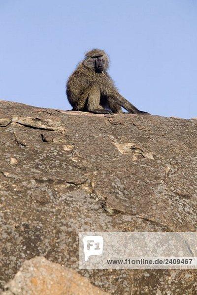 Ein Affe auf einem Felsen sitzend
