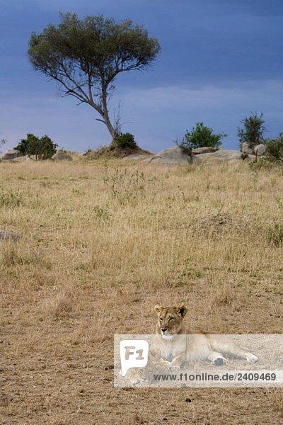 Eine Löwin im Liegen mit ihrem Jungen