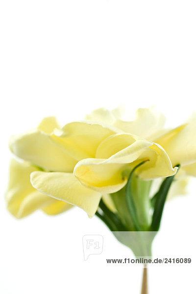 Gardenia Blume auf weißem Hintergrund  Seitenansicht  Nahaufnahme Gardenia Blume auf weißem Hintergrund, Seitenansicht, Nahaufnahme
