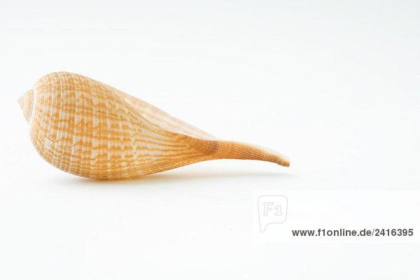Seashell  Nahaufnahme Seashell, Nahaufnahme