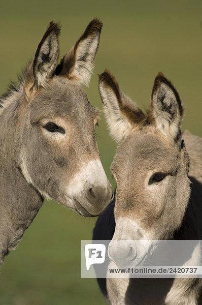 Donkeys  close-up