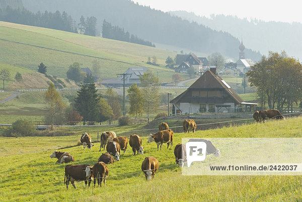 Germany  Black forest  Urach  Cattle herd Germany, Black forest, Urach, Cattle herd