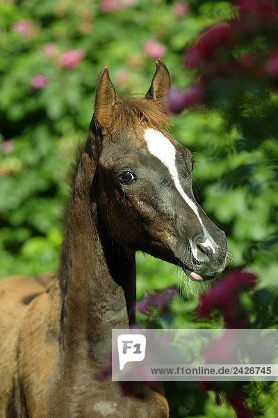 Arabian horse - foal - portrait