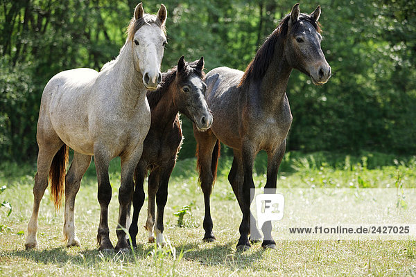 two connemaras with foal - standing on meadow