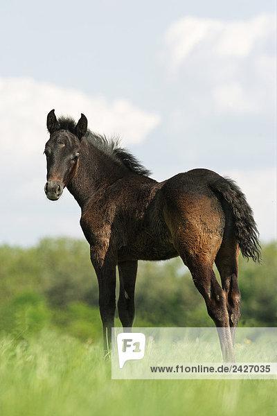 Connemara - foal standing on meadow