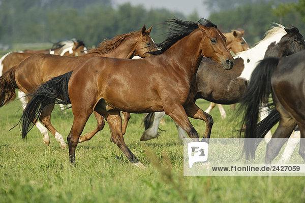 Pferde - Herde rennend auf Wiese
