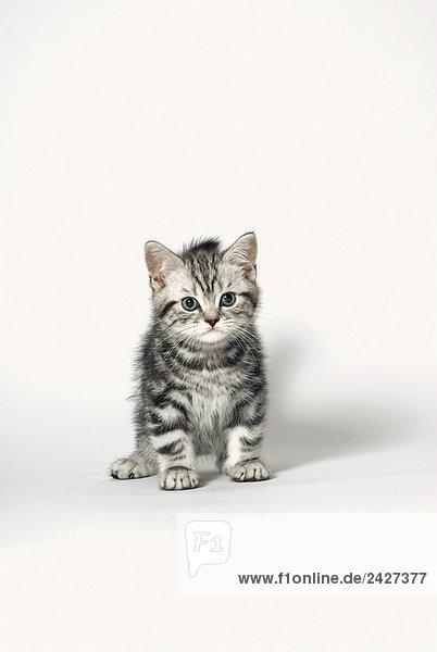 Britisch Kurzhaar Kätzchen - sitzend