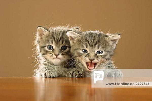 zwei Kätzchen - Pfoten auf Tischkante
