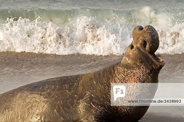 Strand Schutz Seeelefant