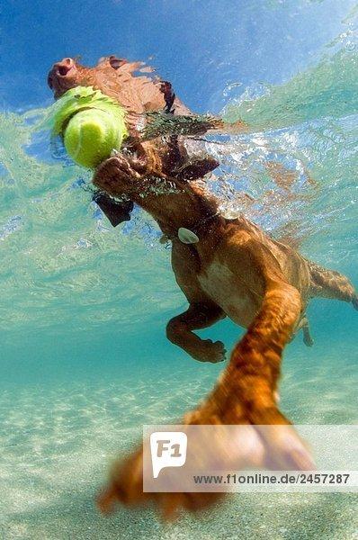 Eine männliche canine Vizsla Rasse entnimmt einen Tennisball den Untiefen des Sea Shore  Palm Beach  Florida  Atlantik  USA