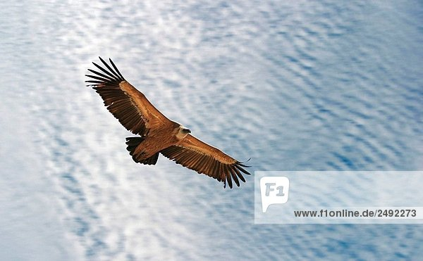 Vulture Vulture