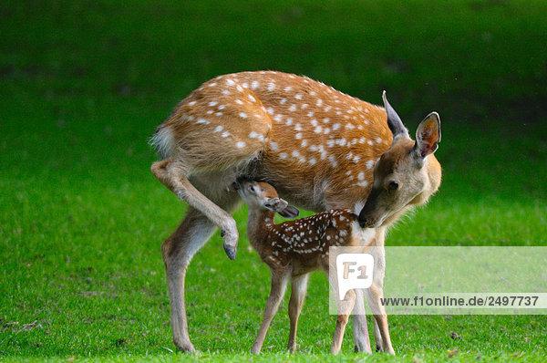 Sikahirsch (Cervus Nippon) Pflege Ihrer Fawn im Feld
