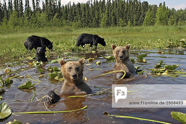 & Schwarz Grizzlybären cooling-off zusammen in South Central Alaska MatSu Tal Sommer Teich mit Wasserlilien