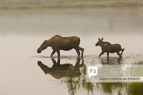Kuh & Kalb Moose waten in Kettlehole Teich @ Sunrise zuzuführen Denali National Park Inland Alaska Sommer