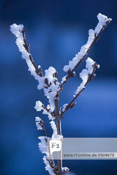 Rauhreifbedeckter Zweig  Nahaufnahme