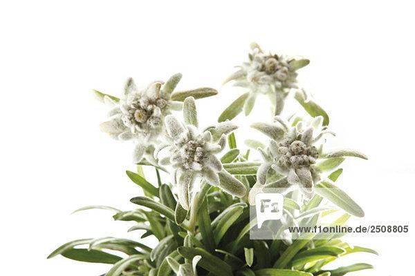 Edelweißblüten (Leontopodium alpinum)