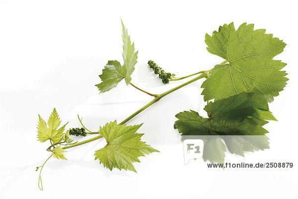 Zweig einer Weinrebe  Nahaufnahme